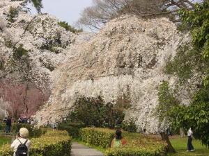 御苑の桜2008-1