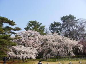 御苑の桜2008-2