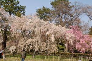 御苑桜2008-3