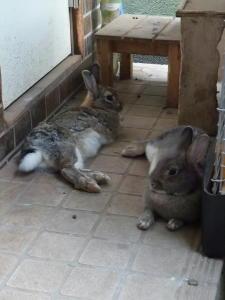 今日のウサギたち