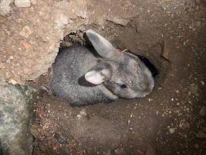 トンネルから顔を出すウサギ