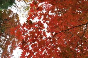 北摂紅葉(12);西光寺の紅葉