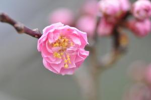 京都御苑梅1