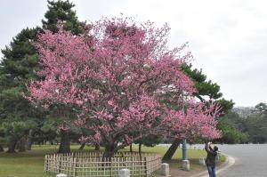 京都御苑梅2