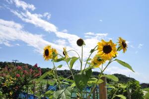 新潟2010;スッポンと晴れた空にひまわり
