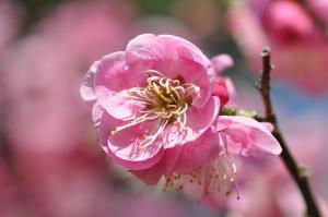 京都御苑 梅模様2011-1
