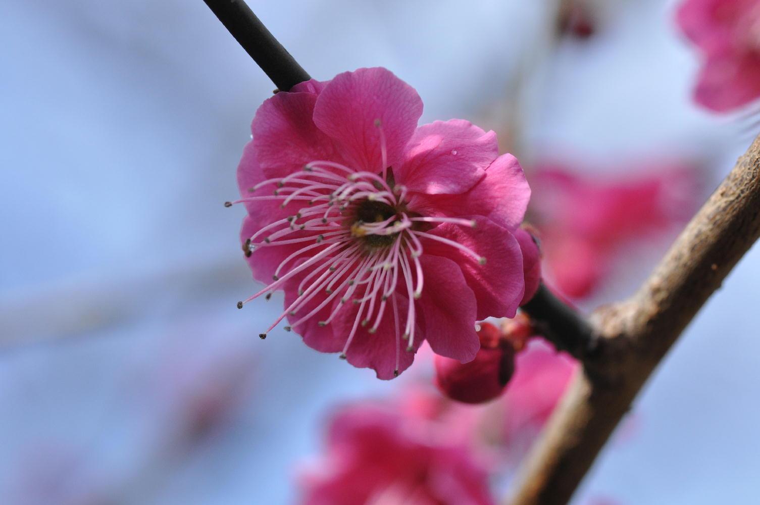 京都御苑 梅模様2011-2