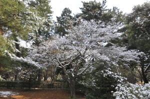 京都御苑 梅模様2011-3