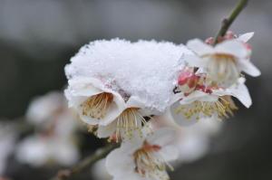 京都御苑 梅模様2011-4