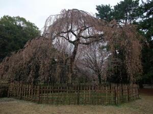 御苑桜2011-1