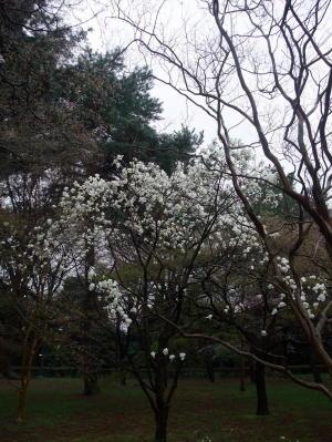 御苑桜2011-2