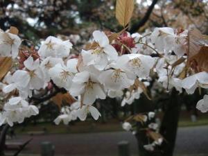 御苑桜2011-3