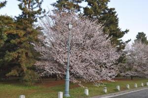 御苑桜2011-5(4/10)