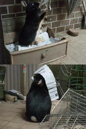 ウサギの巣作り