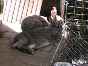 暑いときのウサギ