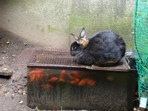 ウサギ対金魚(大人編)