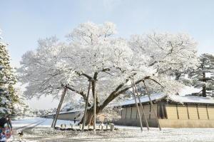 雪の花が満開の木