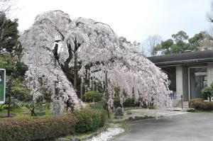 京都護衛署の桜
