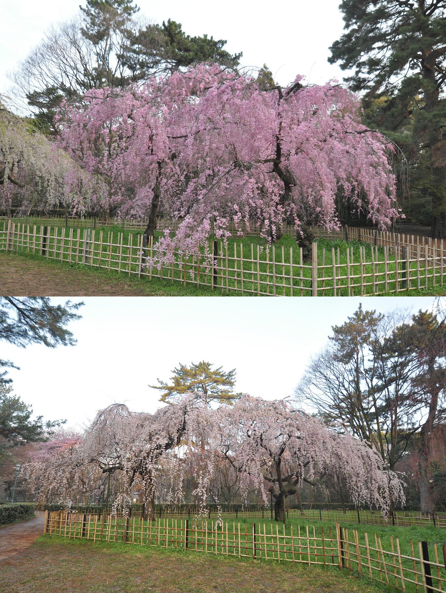 近衛邸跡横のしだれ桜