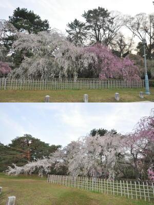 近衛邸前のしだれ桜