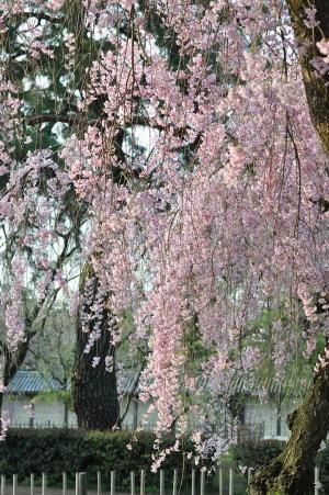 いろんな桜(1)