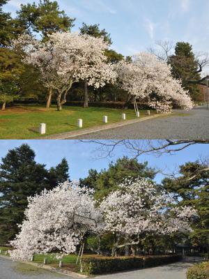 いろんな桜(2)