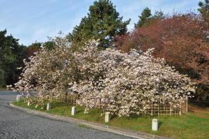 御車返しの桜