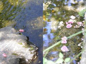 川面に浮かぶ八重桜。