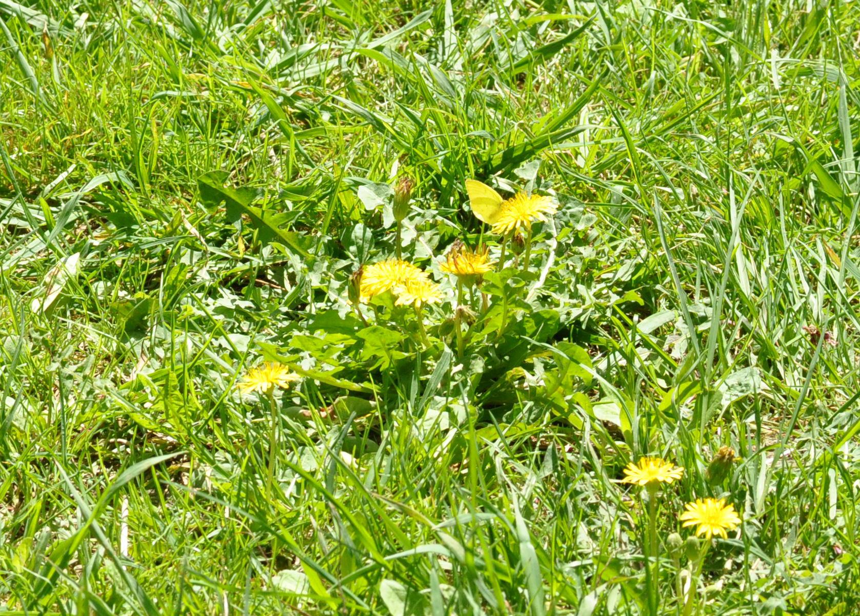 黄色い花には黄色い虫が似合う?