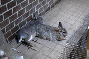 垂直ウサギ
