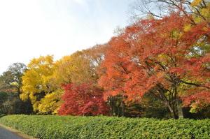 京都迎賓館北側の大紅葉