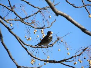今頃の御苑にいる鳥シリーズ、その7。