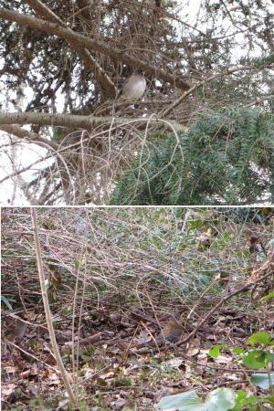 今頃の御苑にいる鳥シリーズ、その12。