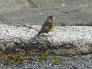 今頃の御苑にいる鳥シリーズ、その16
