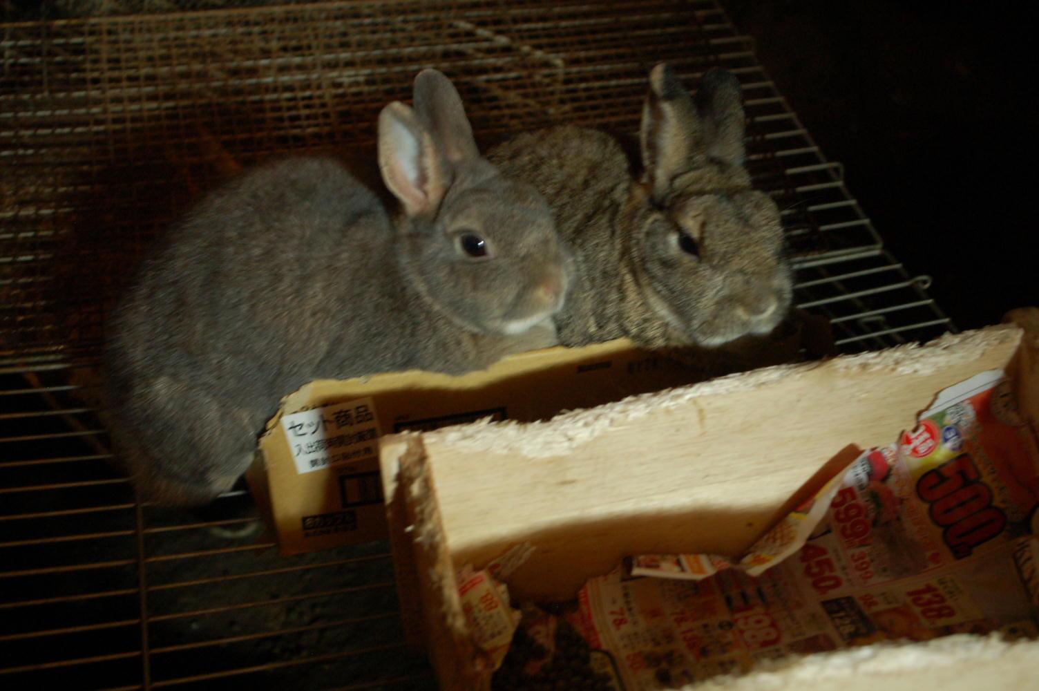 箱入りウサギ