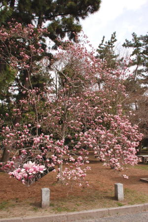 京都御苑桜便り2013-5