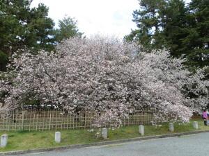 車返しの桜