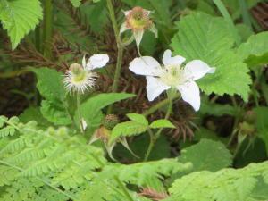 白い花の野イチゴ