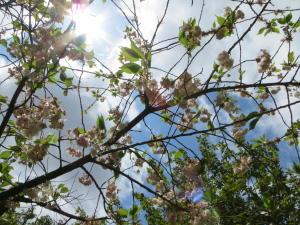 京都御苑桜便り2013-21