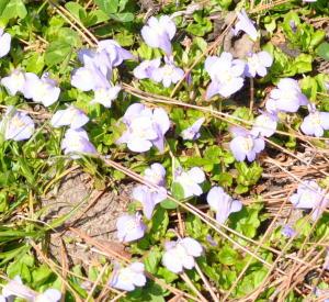 紫の花はツバタウンランかどうか