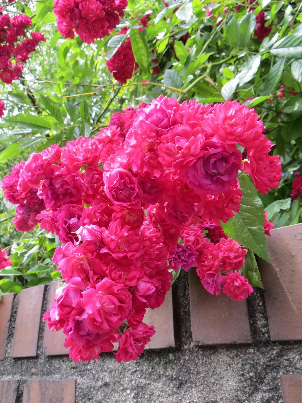 花の小さなバラ