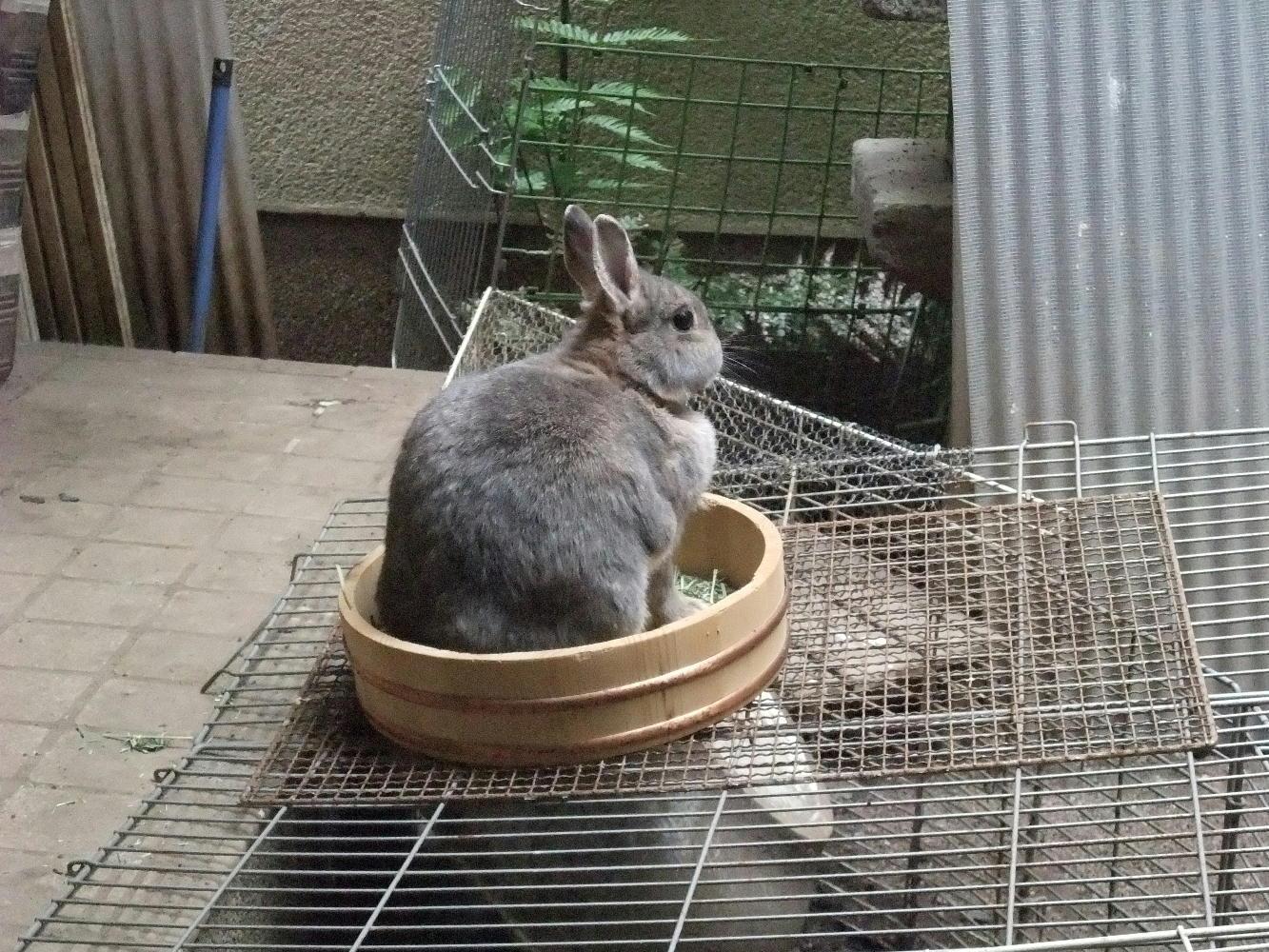 おけ入りウサギ