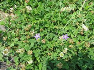 白つめ草と紫の花