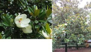 白い大きな花。