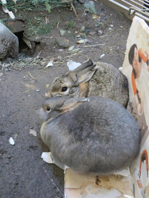 寄り添いウサギ