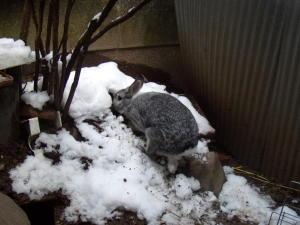 雪を掘るウサギ