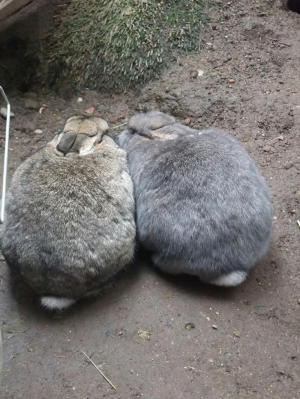 おしどりウサギ