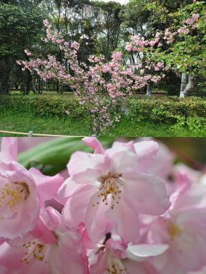 御苑桜2011-18(4/16)