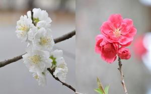 京都御苑2012;春の花