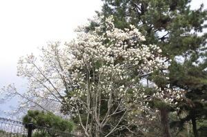 京都護衛署の木蓮